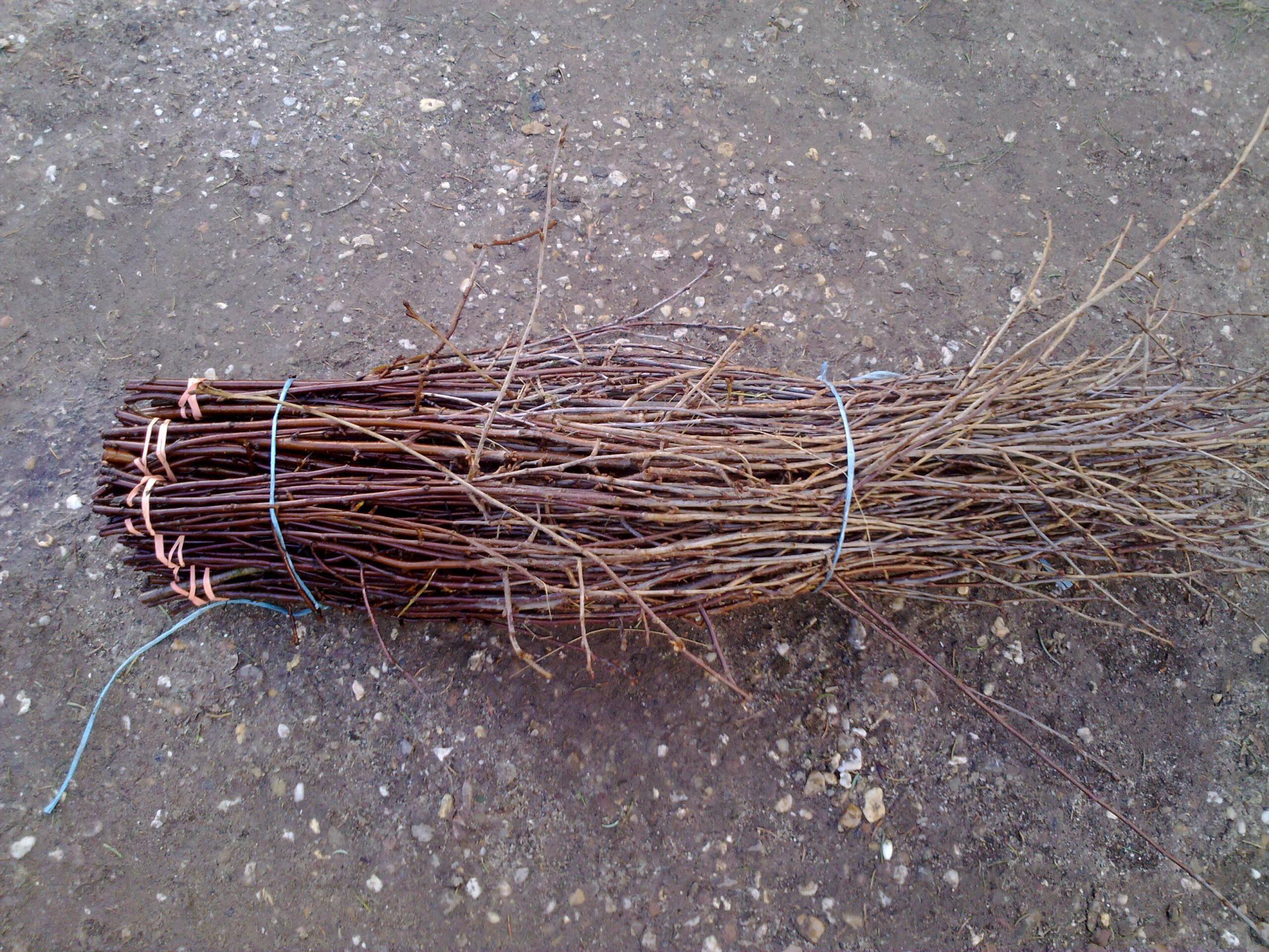 Schacht France Schnittgrün Produktion Kirschzweige Prunus Carasus Handbund
