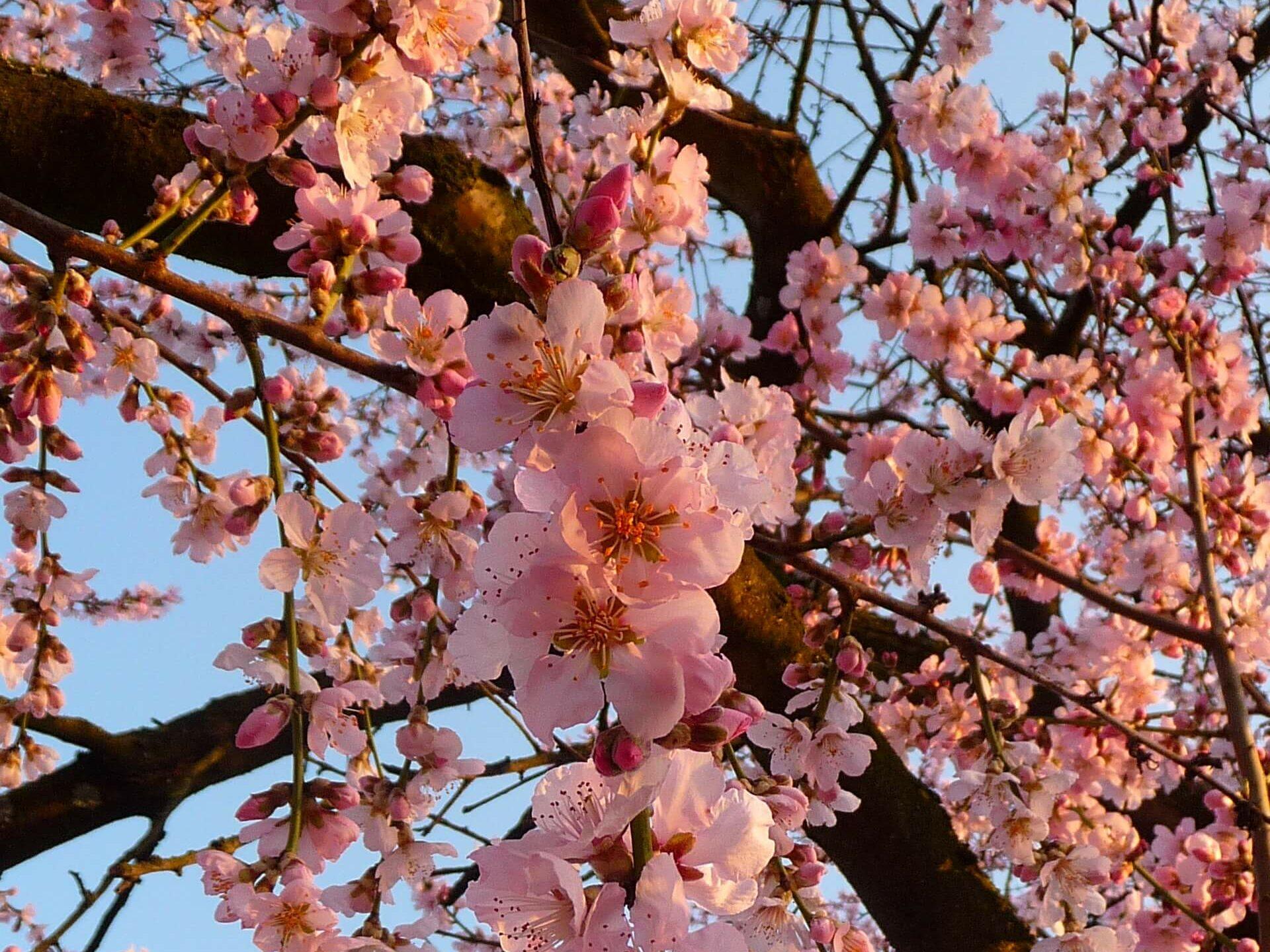 Schacht France Schnittgrün Produktion Mandelblüte Prunus Dulcis Handbund